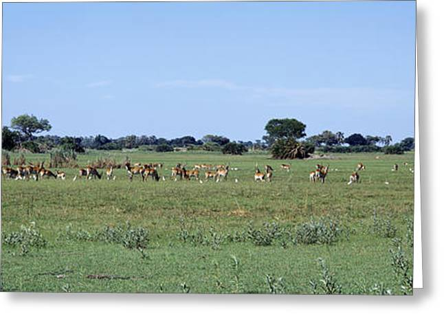 Faint Greeting Cards - Red Lechwee Moremi Game Reserve Greeting Card by Panoramic Images