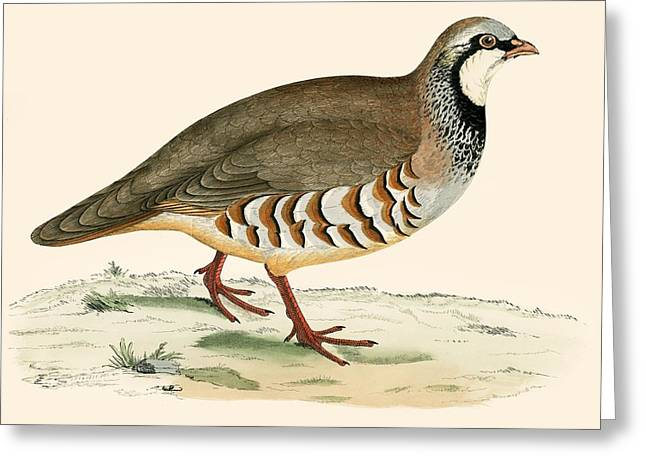 Hunting Bird Photographs Greeting Cards - Red Legged Partridge Greeting Card by Beverley R. Morris