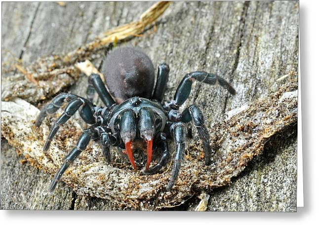 Red Purse Greeting Cards - Red-legged Purse Web Spider Sphodros Greeting Card by John Serrao