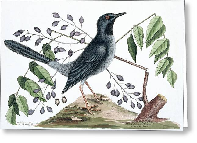 Red-legged Thrush Greeting Card by Natural History Museum, London