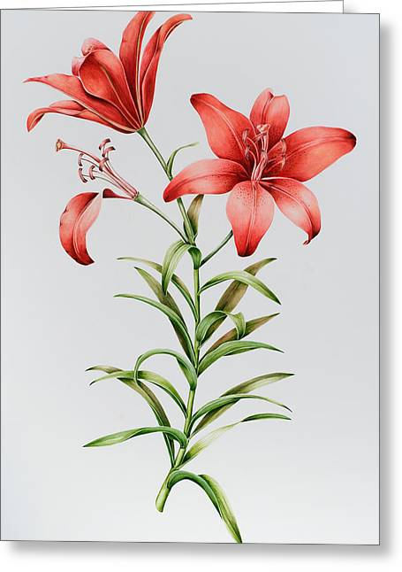 Red Petals Greeting Cards - Red Lilies Greeting Card by Sally Crosthwaite