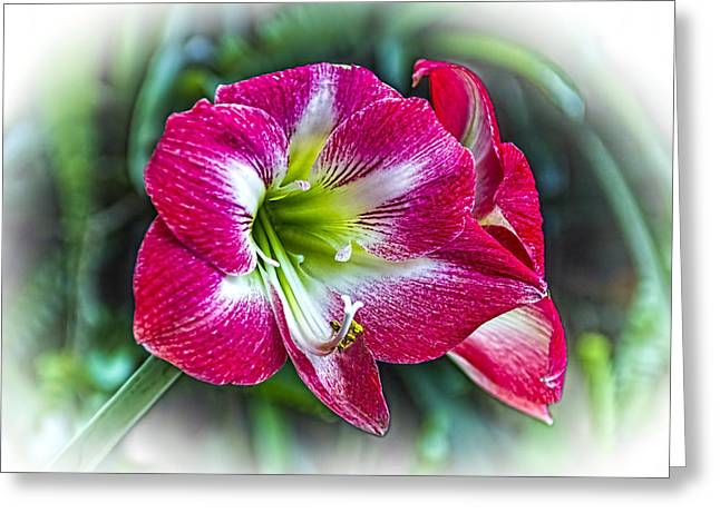 Lilly Greeting Cards - Red Lilly Greeting Card by Marvin Spates