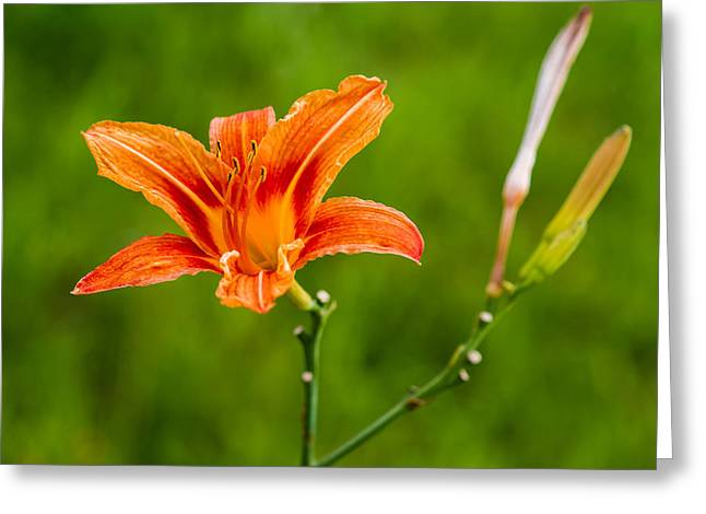 Loveliness Greeting Cards - Red Lily - Featured 3 Greeting Card by Alexander Senin