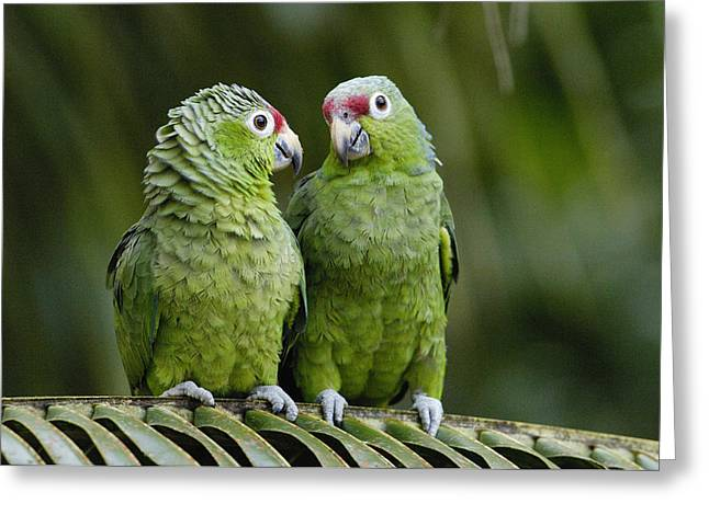 Amazon Parrot Greeting Cards - Red-lored Parrots Ecuador Greeting Card by Pete Oxford
