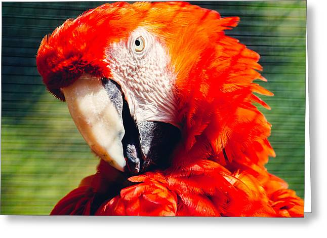 Red Macaw Closeup Greeting Card by Pati Photography