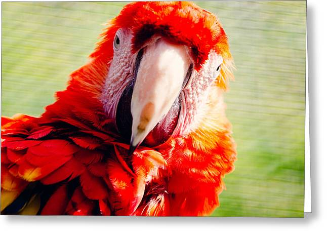Red Macaw Greeting Card by Pati Photography