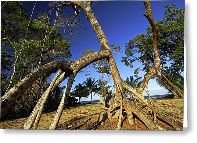 Clear Cut Greeting Cards - Red Mangrove Aerial Roots Greeting Card by Christian Ziegler