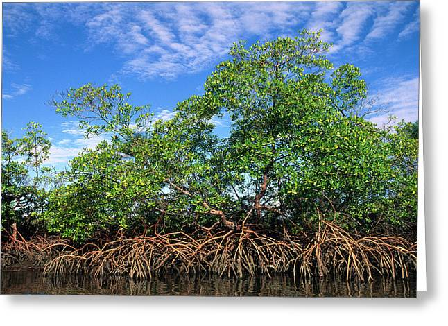 Mangrove Forest Greeting Cards - Red Mangrove East Coast Brazil Greeting Card by Pete Oxford