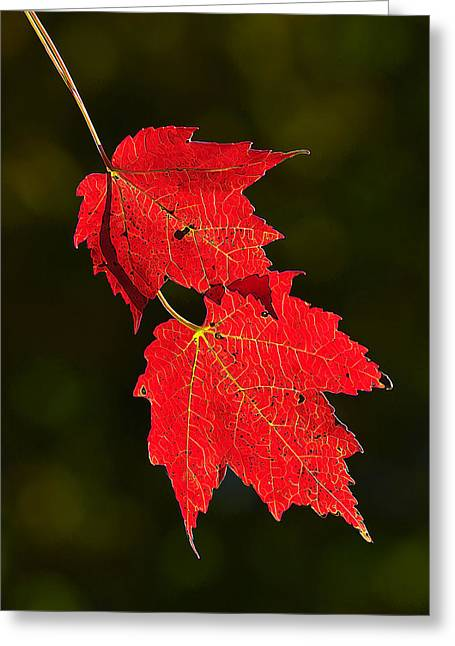 Downeast Greeting Cards - Red Maple in Fall Greeting Card by Bill Caldwell -        ABeautifulSky Photography
