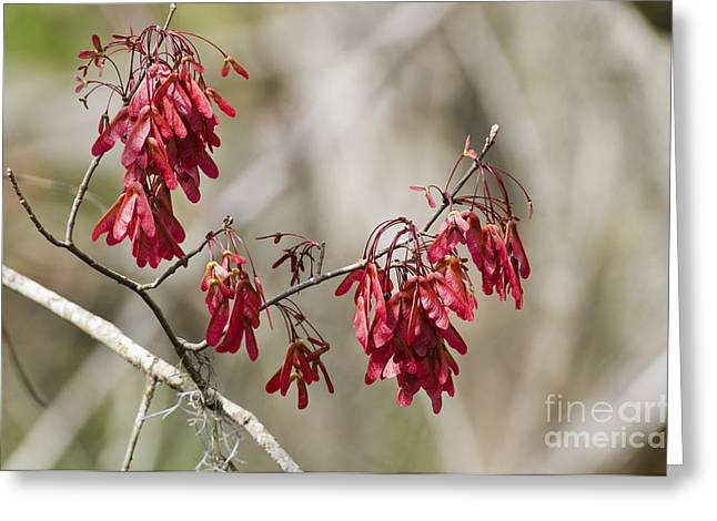 Magnoliopsida Greeting Cards - Red Maple In Spring Greeting Card by William H. Mullins