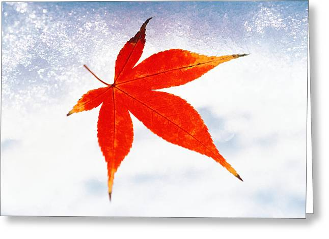Colors Of Autumn Greeting Cards - Red Maple Leaf Against White Background Greeting Card by Panoramic Images