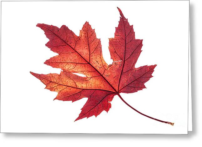 Artistic Photography Greeting Cards - Red maple leaf in all its glory Greeting Card by Vishwanath Bhat