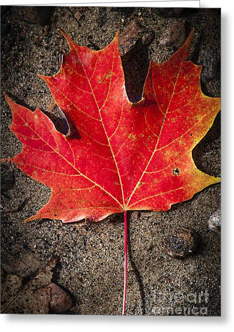 Wet Greeting Cards - Red maple leaf in water Greeting Card by Elena Elisseeva
