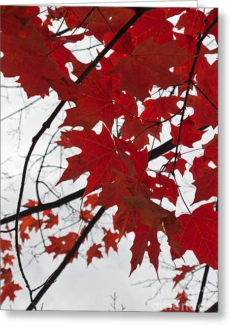 Red Maple Tree Branches Greeting Cards - Red Maple Leaves Greeting Card by Ana V  Ramirez