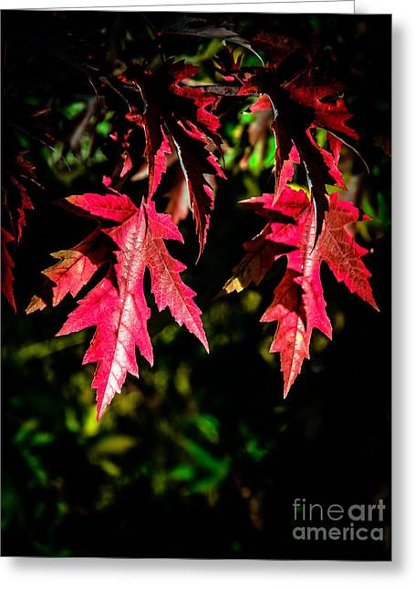 Picturesqueness Greeting Cards - Red Maple Leaves Greeting Card by Robert Bales
