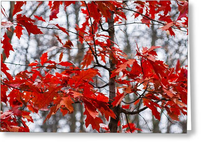 Foggy Day Greeting Cards - Red Maple Tree Greeting Card by Alexander Senin