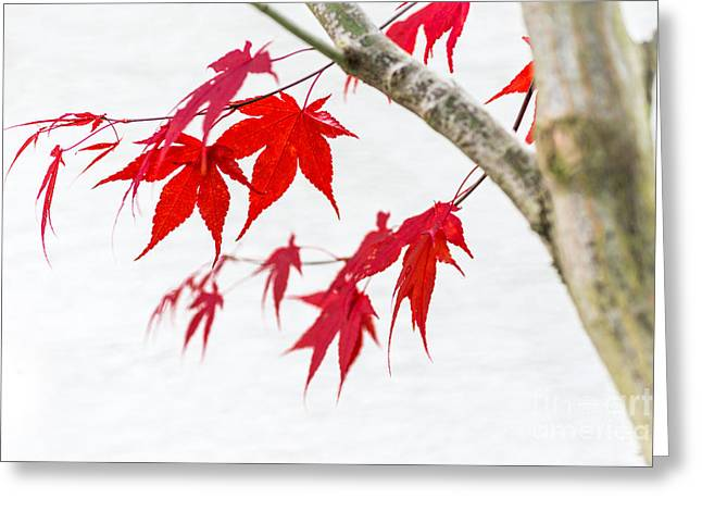 Hannes Cmarits Greeting Cards - Red Maple Tree Greeting Card by Hannes Cmarits