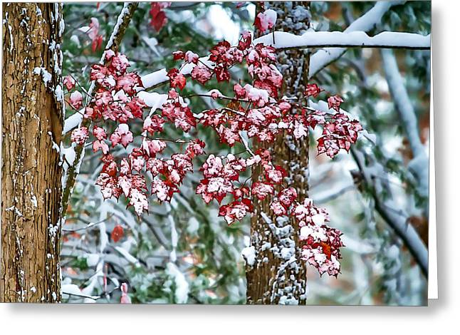 Red Maple With Snow Greeting Card by John Haldane