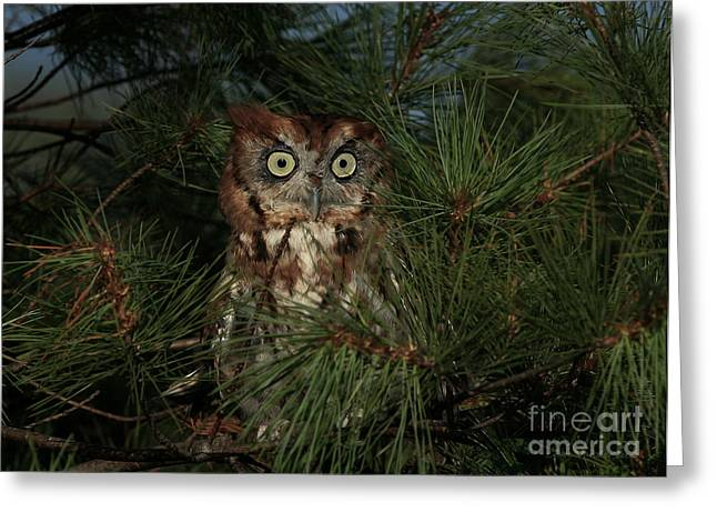 Morph Greeting Cards - Red Morph Eastern Screech Owl Greeting Card by Clare VanderVeen