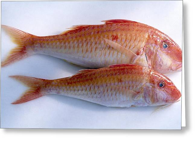 Mullet Greeting Cards - Red mullet Greeting Card by Science Photo Library