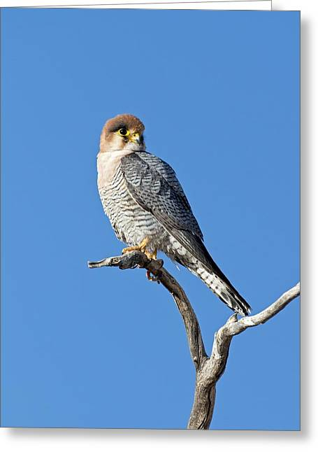 Red-necked Falcon Perched On A Branch Greeting Card by Tony Camacho