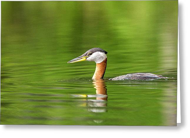Red Necked Grebe Near Whitefish Greeting Card by Chuck Haney