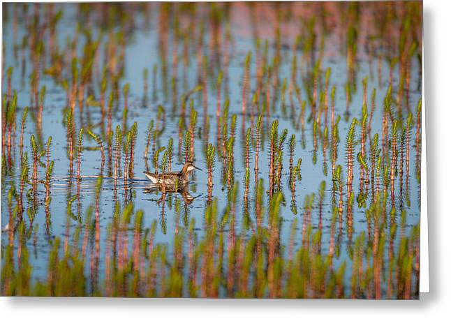 Seabirds Photographs Greeting Cards - Red-necked Phalarope Phalaropus Greeting Card by Panoramic Images