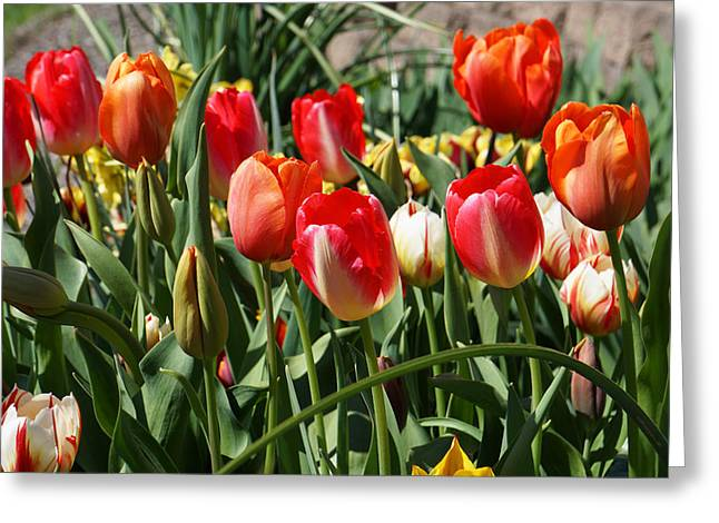 Popular Flower Art Greeting Cards - Red Orange Tulip Flowers Art Prints Greeting Card by Baslee Troutman