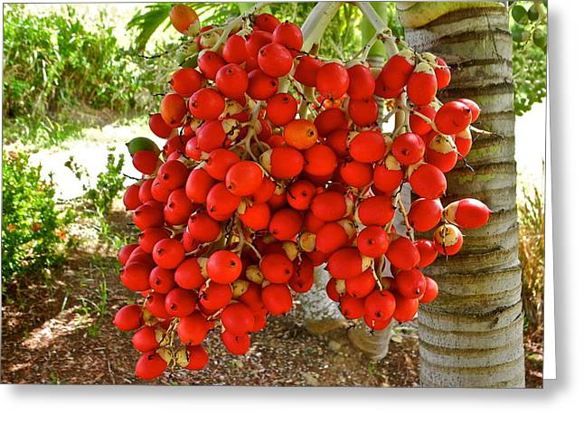 Mahogany Red Greeting Cards - Red Palm Tree Fruit Greeting Card by Kirsten Giving