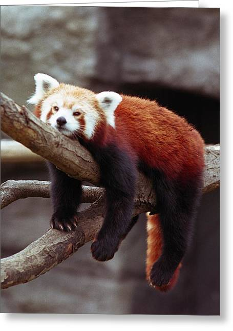 Rosamond Greeting Cards - Red Panda at Burnet Park Zoo Greeting Card by Marianne Miles