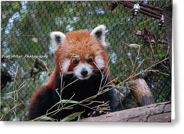 Red Panda Greeting Card by Jade Thomas