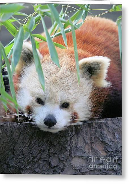 Red Panda Greeting Card by Karol Livote