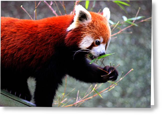 Animals Love Greeting Cards - Red Panda Greeting Card by Martin Newman