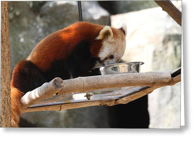 Red Panda - National Zoo - 011310 Greeting Card by DC Photographer
