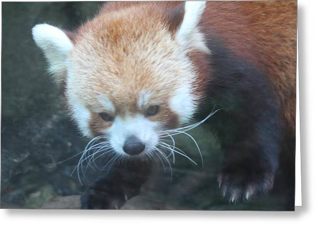 Panda Greeting Cards - Red Panda - National Zoo - 01135 Greeting Card by DC Photographer