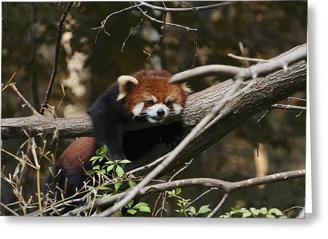 Red Panda Greeting Card by Richard Gregurich