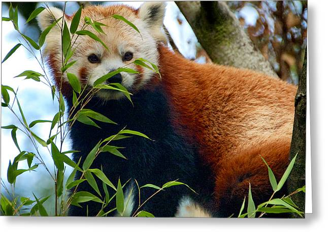 Red Panda Greeting Card by Trever Miller