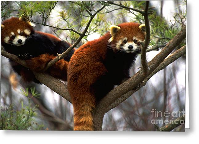 Climbing In Greeting Cards - Red Pandas In Tree Greeting Card by Art Wolfe