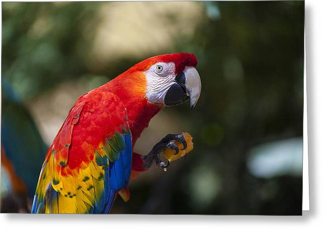 Rainforest Greeting Cards - Red parrot  Greeting Card by Garry Gay
