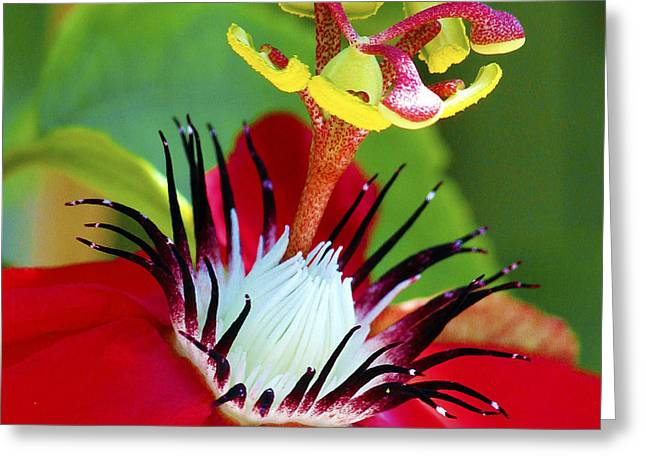 Passionflower Greeting Cards - Red Passion Flower Greeting Card by Karen Anderson