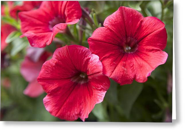 Red Petunias Greeting Card by Terry Horstman