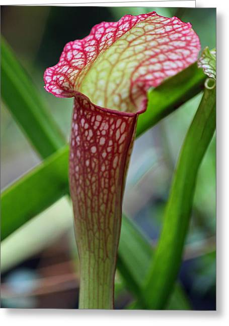 Red Pitcher Plant Greeting Card by Suzanne Gaff