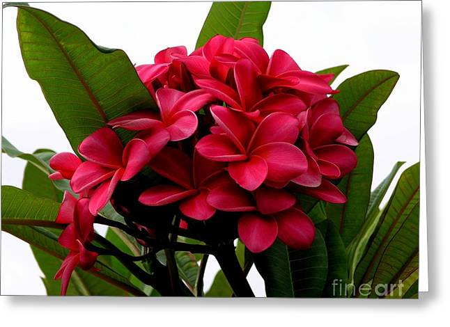 Mary Deal Greeting Cards - Red Plumeria Greeting Card by Mary Deal