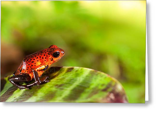 Bright Colors Pyrography Greeting Cards - Red Poison Dart Frog Greeting Card by Dirk Ercken