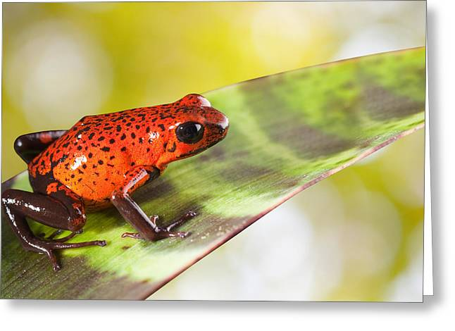Guyana Greeting Cards - Red Poison Frog Greeting Card by Dirk Ercken