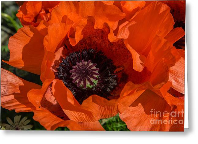 Red Poppies Open Greeting Card by Iris Richardson