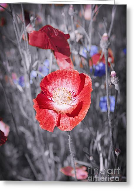 Red Petals Greeting Cards - Red poppy flower Greeting Card by Elena Elisseeva