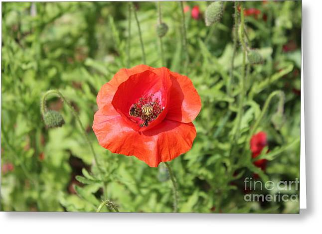 Forest Pyrography Greeting Cards - Red Poppy Flower Greeting Card by Yury Bashkin