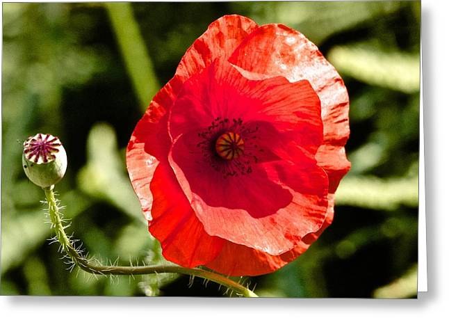 Print Photographs Greeting Cards - Red Poppy Greeting Card by Sean Foreman
