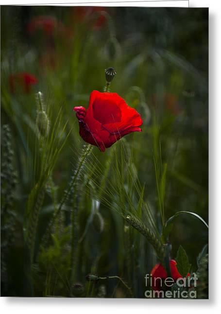Red Poppy Greeting Card by Svetlana Sewell